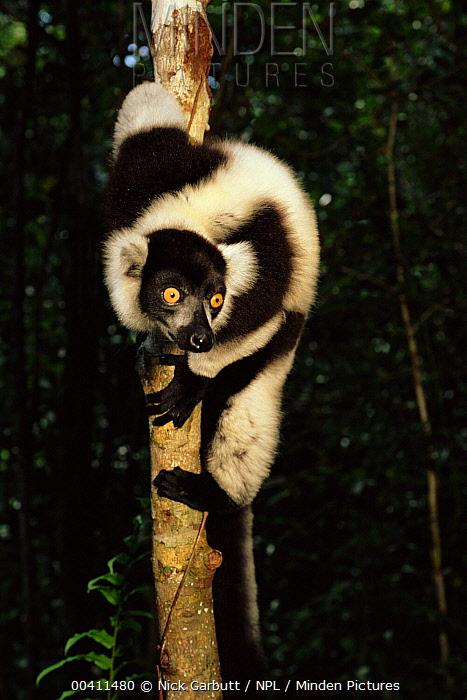 Black and White Ruffed Lemur (Varecia variegata variegata), Nosy Mangbe Reserve, Madagascar  -  Nick Garbutt/ npl
