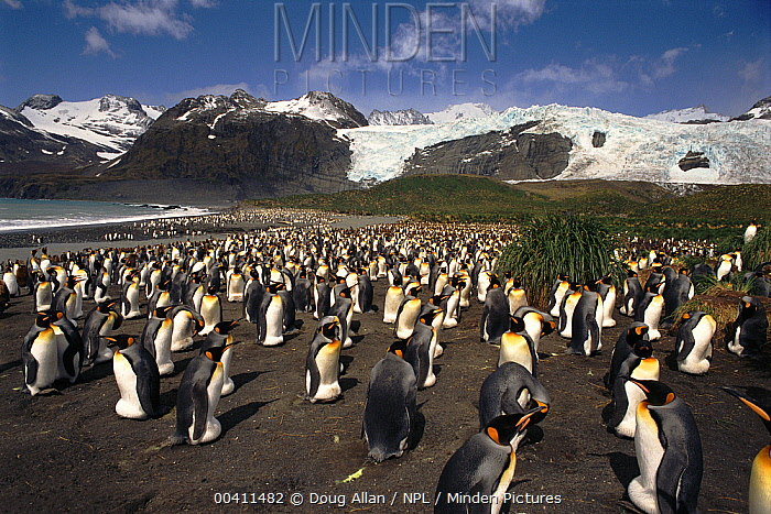 King Penguin (Aptenodytes patagonicus) rookery incubating eggs, Gold Harbor, South Georgia  -  Doug Allan/ npl