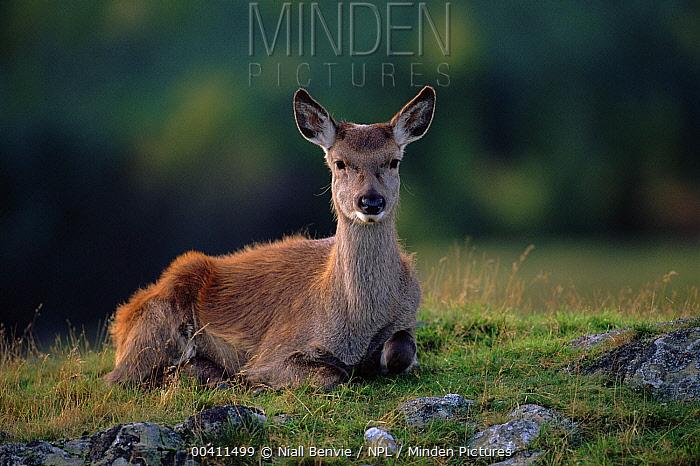Red Deer (Cervus elaphus) hind, Kingussie, Angus, Scotland  -  Niall Benvie/ npl