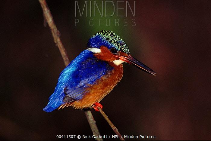 Madagascar Kingfisher (Alcedo vintsioides) perched on twig, Mantadia National Park, Madgascar  -  Nick Garbutt/ npl