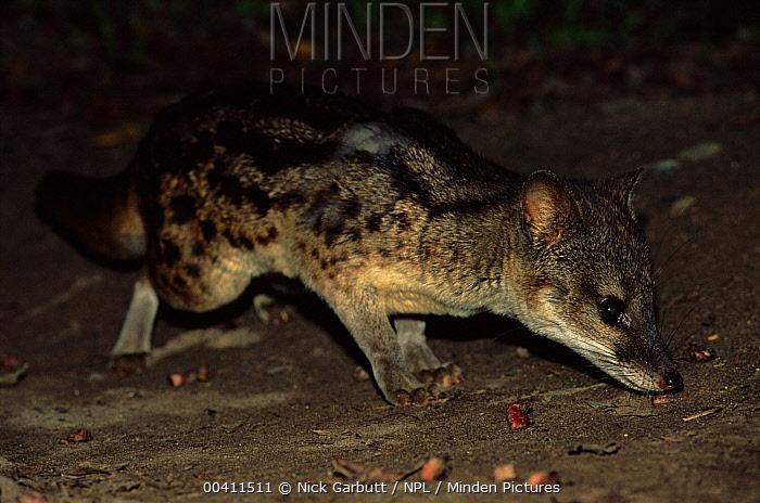 Striped Civet (Fossa fossana) foraging at night, Ranomafana National Park, Madagascar  -  Nick Garbutt/ npl
