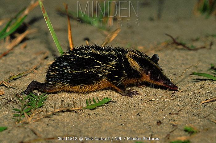 Streaked Tenrec (Hemicentetes semispinosus) foraging Mantadia National Park, eastern Madagascar  -  Nick Garbutt/ npl