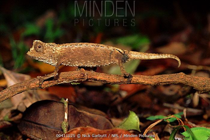Stump-tailed Chameleon (Brookesia perarmata), Montagne d'Ambre National Park, Madagascar  -  Nick Garbutt/ npl