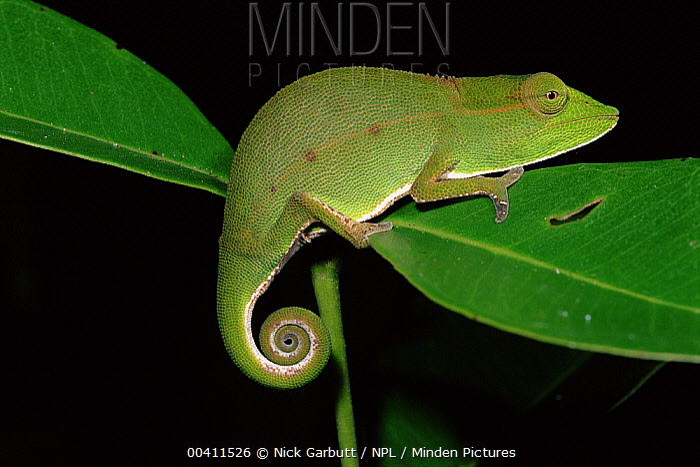 Short-nosed Chameleon (Calumma gastrotaenia) at night, Mantadia National Park, Madagascar  -  Nick Garbutt/ npl