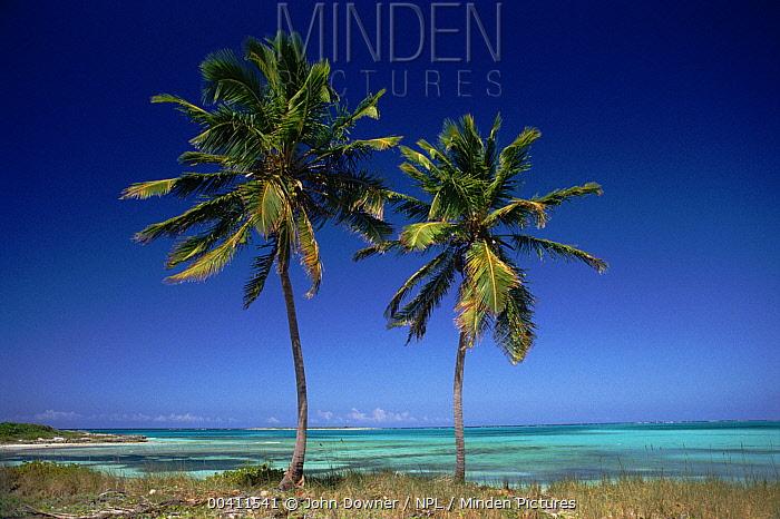 Coconut Palm (Cocos nucifera) trees, Bahamas  -  John Downer/ npl