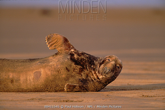Grey Seal (Halichoerus grypus) male, Lincolnshire, England  -  Paul Hobson/ npl