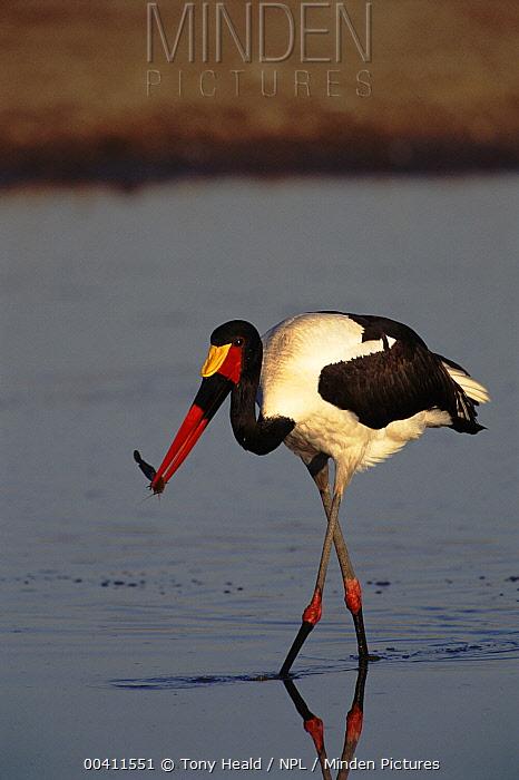 Saddle-billed Stork (Ephippiorhynchus senegalensis) fishing, Moremi Reserve, Botswana  -  Tony Heald/ npl
