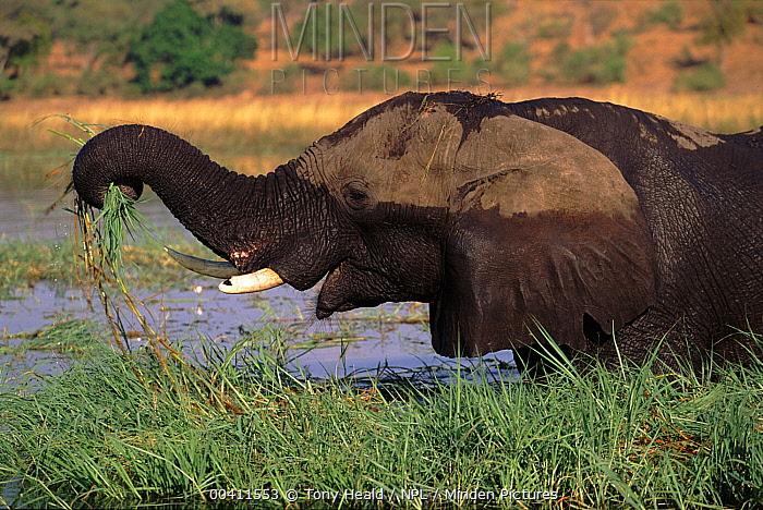 African Elephant (Loxodonta africana) feeding in water, Chobe National Park, Botswana  -  Tony Heald/ npl