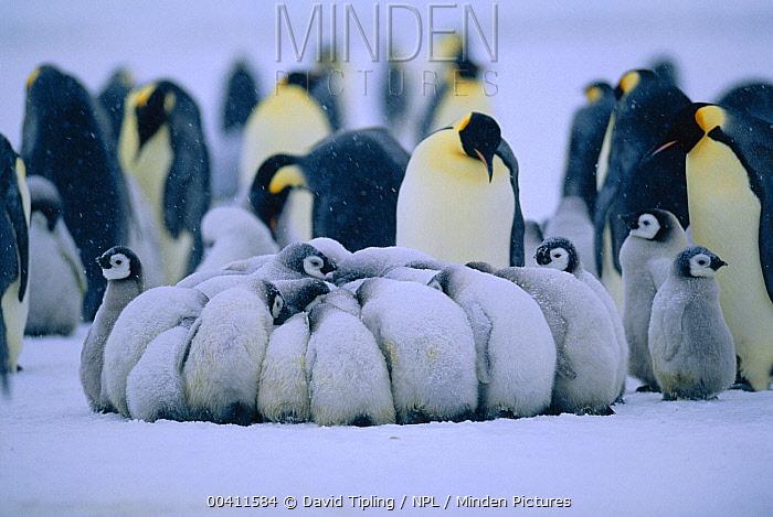 Emperor Penguin (Aptenodytes forsteri) chicks in creche huddling for warmth, Dawson-Lambton Glacier, Weddell Sea, Antarctica  -  David Tipling/ npl