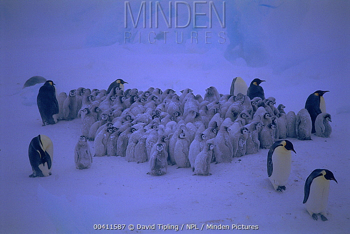 Emperor Penguin (Aptenodytes forsteri) chicks in large creche, -40C and 70mph wind Dawson-Lambton Glacier, Weddell Sea, Antarctica  -  David Tipling/ npl