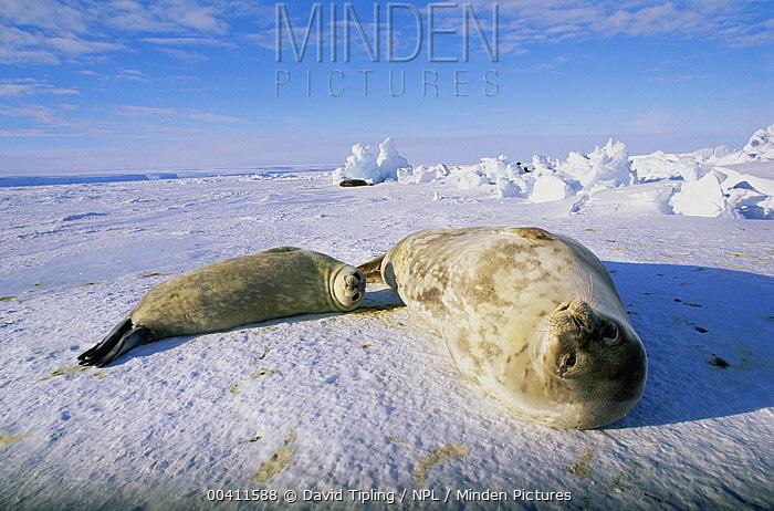 Weddell Seal (Leptonychotes weddellii) mother with pup Weddell Sea, Antarctica  -  David Tipling/ npl