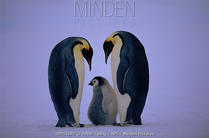 Emperor Penguin (Aptenodytes forsteri) pair in ritual greeting with chick, Dawson-Lambton Glacier, Weddell Sea, Antarctica (November)  -  David Tipling/ npl