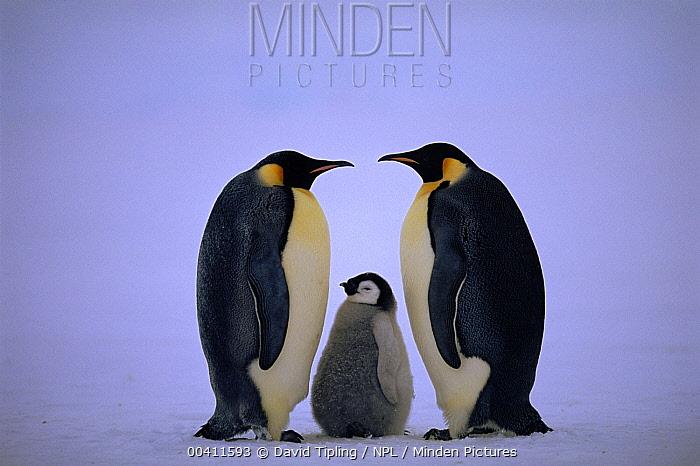 Emperor Penguin (Aptenodytes forsteri) pair in greeting ritual with chick, Dawson-Lambton Glacier, Weddell Sea, Antarctica (November)  -  David Tipling/ npl