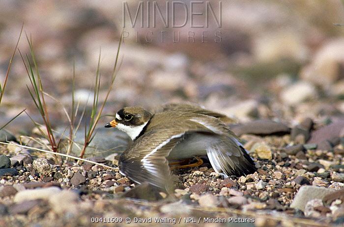 Common Ringed Plover (Charadrius hiaticula) feigning injury, Canada  -  David Welling/ npl