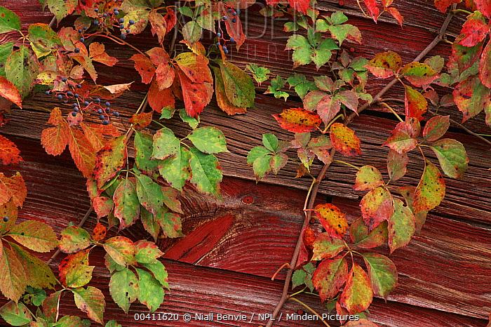 Virginia Creeper (Parthenocissus quinquefolia) on timber barn, Pennsylvania  -  Niall Benvie/ npl