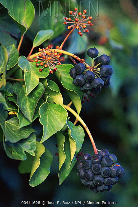 English Ivy (Hedera helix) leaves and fruits, Cuidad Real, Spain  -  Jose B. Ruiz/ npl
