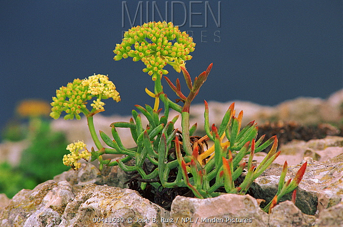 Rock Samphire (Crithmum maritimum) flowering, Alicante, Spain  -  Jose B. Ruiz/ npl