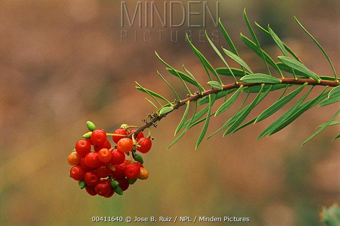 Mediterranean Mezereon (Daphne gnidium x) fruiting, Alicante, Spain  -  Jose B. Ruiz/ npl