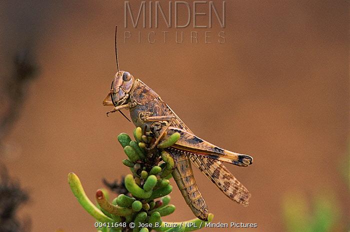 Grasshopper (Arcyptera sp) grooming antennae, Alicante, Spain  -  Jose B. Ruiz/ npl
