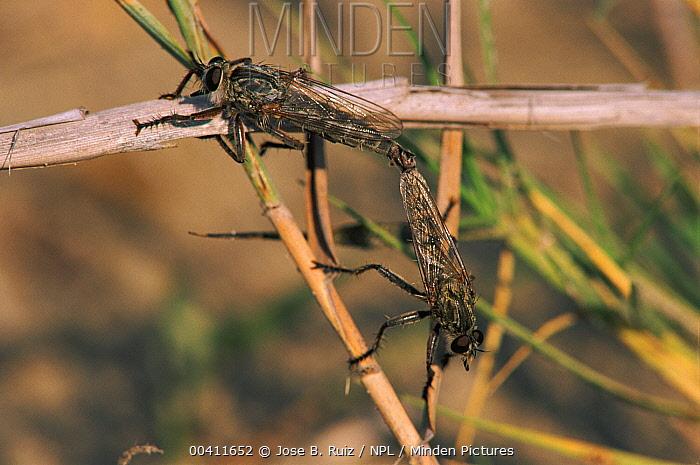 Hornet Robber Fly (Asilus crabroniformis) pair mating, Alicante, Spain  -  Jose B. Ruiz/ npl