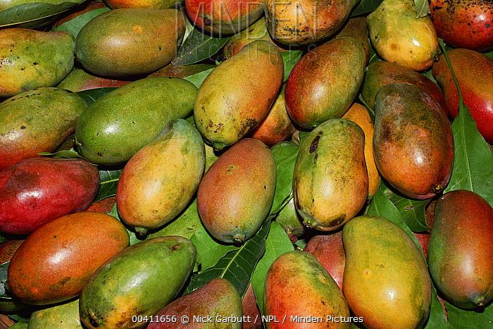 Mango (Mangifera indica) fruit displayed for sale, Port Louis market, Mauritius  -  Nick Garbutt/ npl
