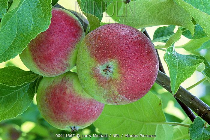 Apple (Malus communis) fruit on tree, North America  -  Larry Michael/ npl