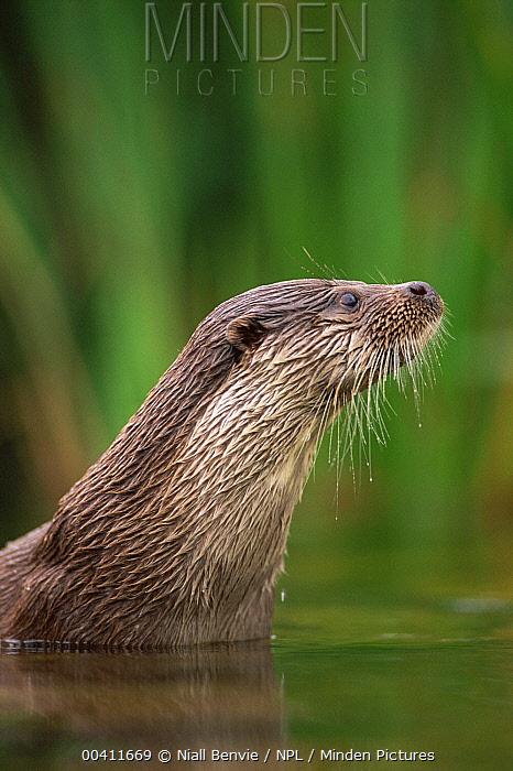 European River Otter (Lutra lutra), Otterpark Aquacultra, Netherlands  -  Niall Benvie/ npl