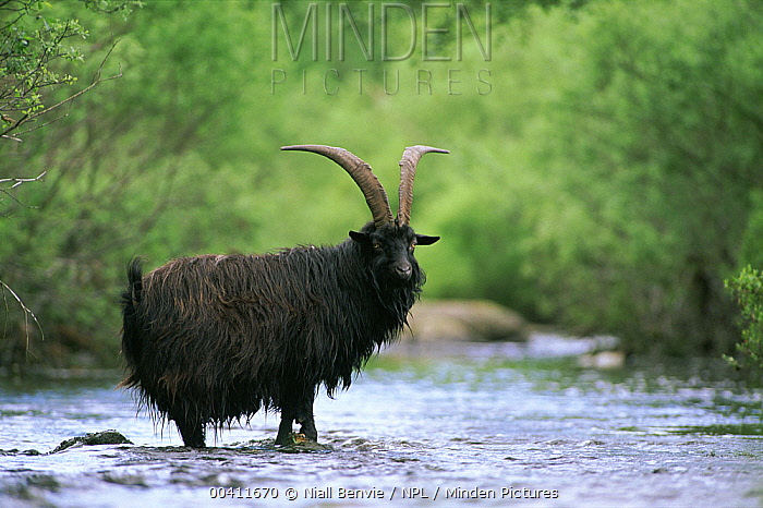 Wild Goat (Capra aegagrus) crossing stream, Aberfoyle, Stirlingshire, Scotland  -  Niall Benvie/ npl