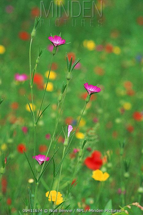 Corncockle (Agrostemma githago) with other meadow species, Leeuwarden, Netherlands  -  Niall Benvie/ npl
