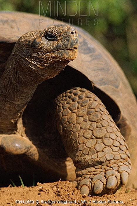 Galapagos Giant Tortoise (Chelonoidis nigra), Galapagos Islands, Ecuador  -  Staffan Widstrand/ npl
