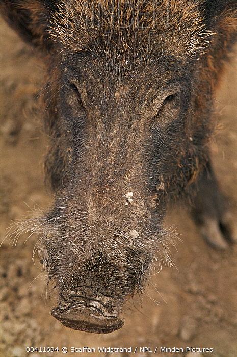 Wild Boar (Sus scrofa) face, Camargue, France  -  Staffan Widstrand/ npl