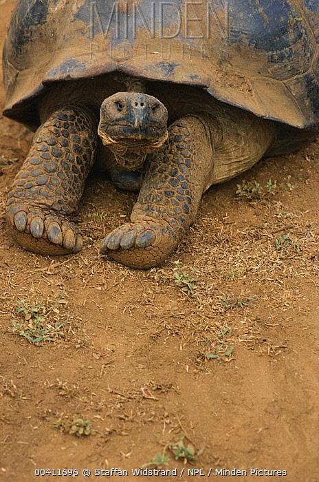 Galapagos Giant Tortoise (Chelonoidis nigra) stretching forelimbs, Galapagos Islands, Ecuador  -  Staffan Widstrand/ npl