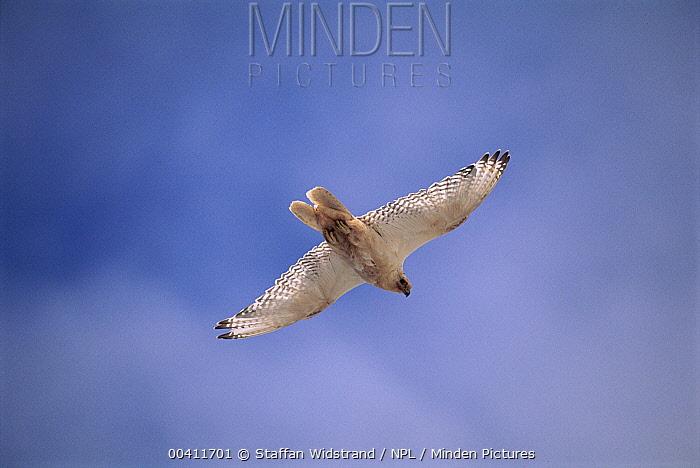 Gryfalcon (Falco rustifcolus) flying, Greenland  -  Staffan Widstrand/ npl