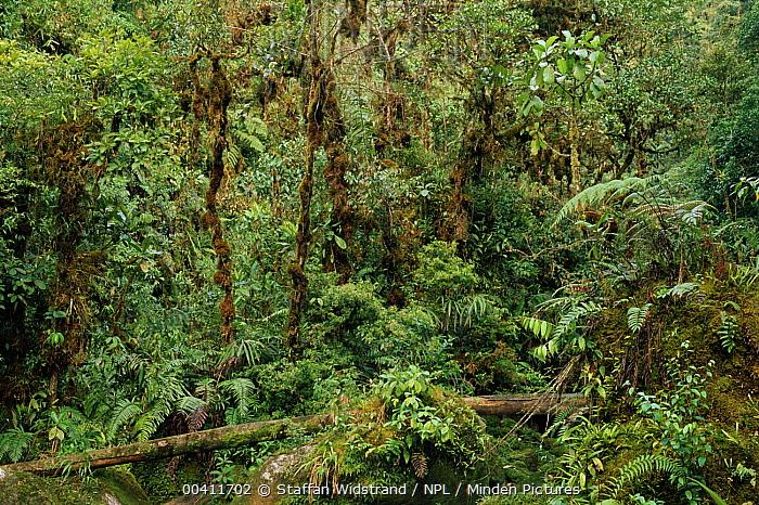 Interior of montange cloud forest, Manu National Park, Peru  -  Staffan Widstrand/ npl