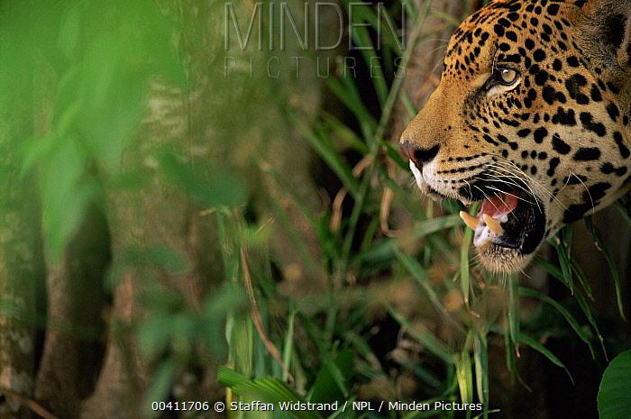 Jaguar (Panthera onca) profile, juvenile male, Brazil  -  Staffan Widstrand/ npl