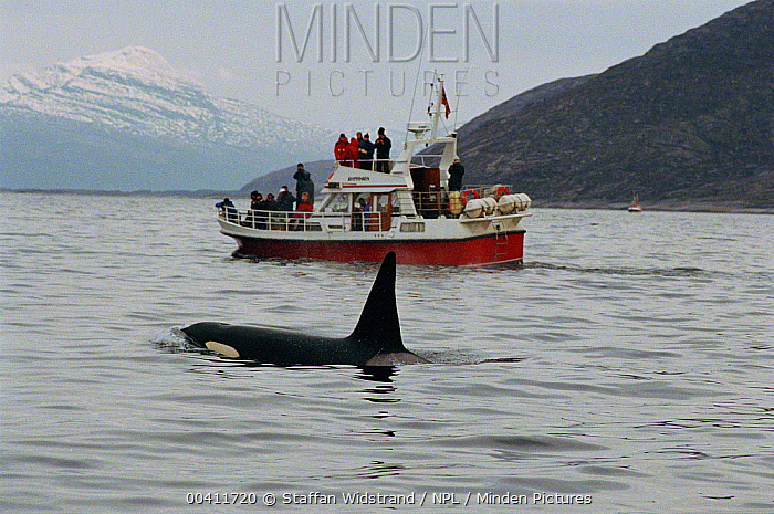Orca (Orcinus orca) safari, ecotourism Tysfjord, Norway  -  Staffan Widstrand/ npl