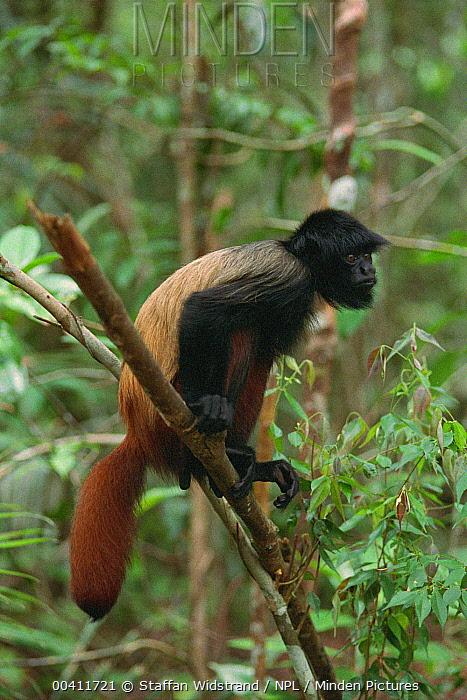 Black Uakari (Cacajao melanocephalus), Manaus, Brazil  -  Staffan Widstrand/ npl