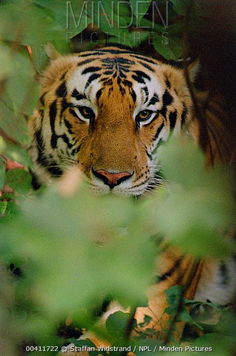 Bengal Tiger (Panthera tigris tigris) male peeking through vegetation, Kanha National Park, India  -  Staffan Widstrand/ npl