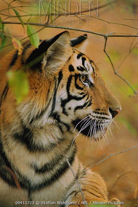 Bengal Tiger (Panthera tigris tigris) young male, Bandhavgarh National Park, India  -  Staffan Widstrand/ npl