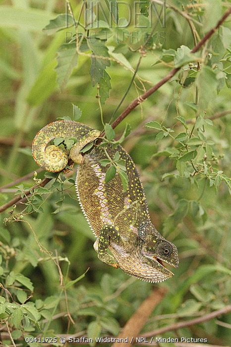 Chameleon (Chamaeleonidae), Serengeti National Park, Tanzania  -  Staffan Widstrand/ npl