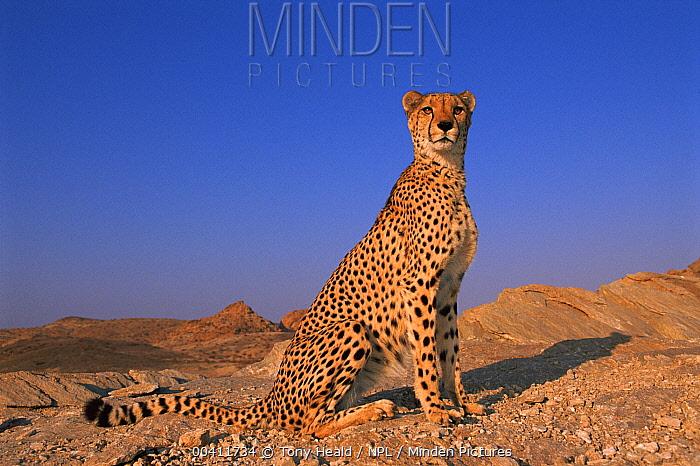 Cheetah (Acinonyx jubatus), Tsaobis Leopard Park, Namibia  -  Tony Heald/ npl