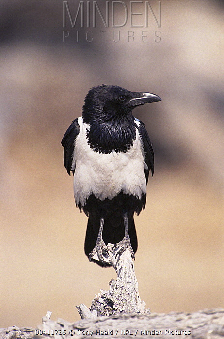 Pied crow (Corvus albus) perched on wood, Etosha National Park, South Africa  -  Tony Heald/ npl