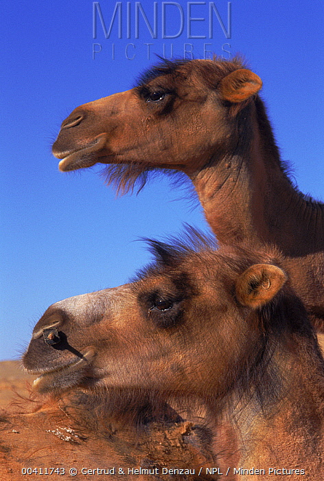 Bactrian Camel (Camelus bactrianus) domestic, Gobi Desert, Mongolia  -  Gertrud & Helmut Denzau/ npl