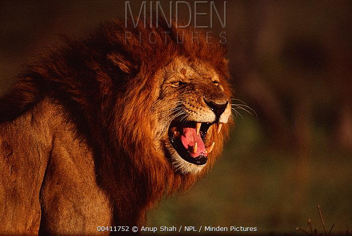 African Lion (Panthera leo) male snarling, Masai Mara National Reserve, Kenya  -  Anup Shah/ npl