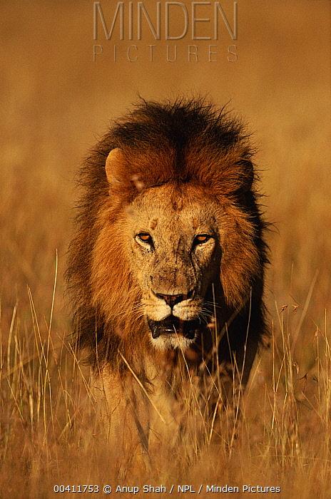 African Lion (Panthera leo), Masai Mara National Reserve, Kenya  -  Anup Shah/ npl