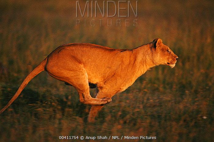 African Lion (Panthera leo) female running Masai Mara National Reserve, Kenya  -  Anup Shah/ npl