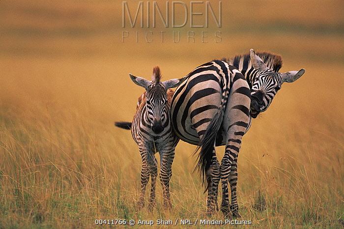 Burchell's Zebra (Equus burchellii) adult and foal, Masai Mara National Reserve, Kenya  -  Anup Shah/ npl