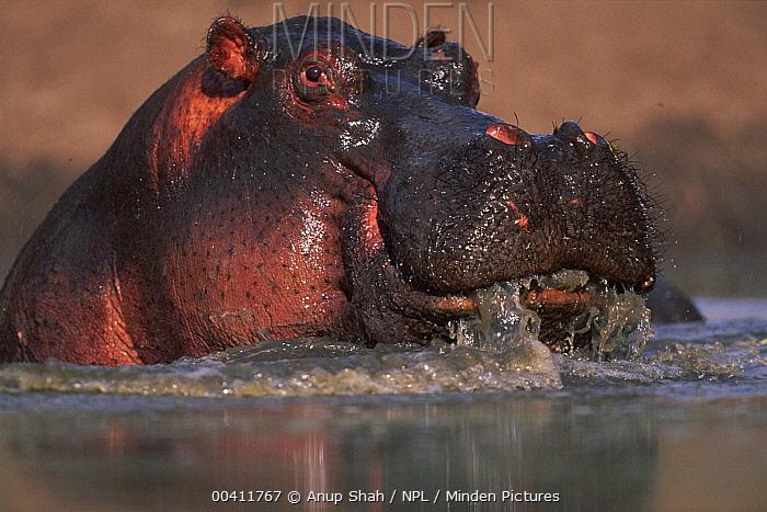 Hippopotamus (Hippopotamus amphibius), Masai Mara National Reserve, Kenya  -  Anup Shah/ npl