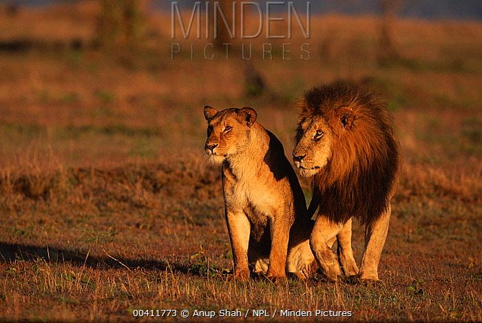 African Lion (Panthera leo) pair on savanna, Masai Mara National Reserve, Kenya  -  Anup Shah/ npl