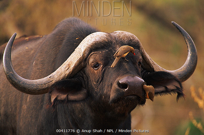 Cape Buffalo (Syncerus caffer) with Red-billed Oxpeckers (Buphagus erythrorhynchus)  -  Anup Shah/ npl